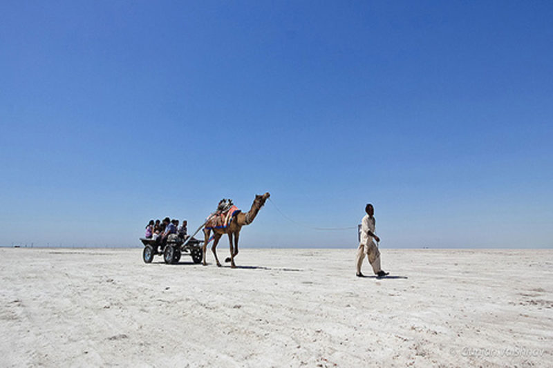 Camel Ride At Rann Utsav