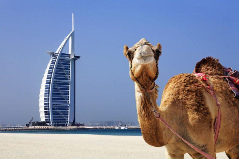 Dubai Camel Burj Al Arab Xlarge