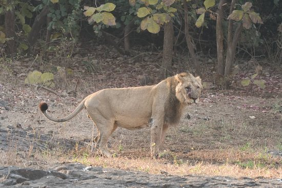 Lion At Gir