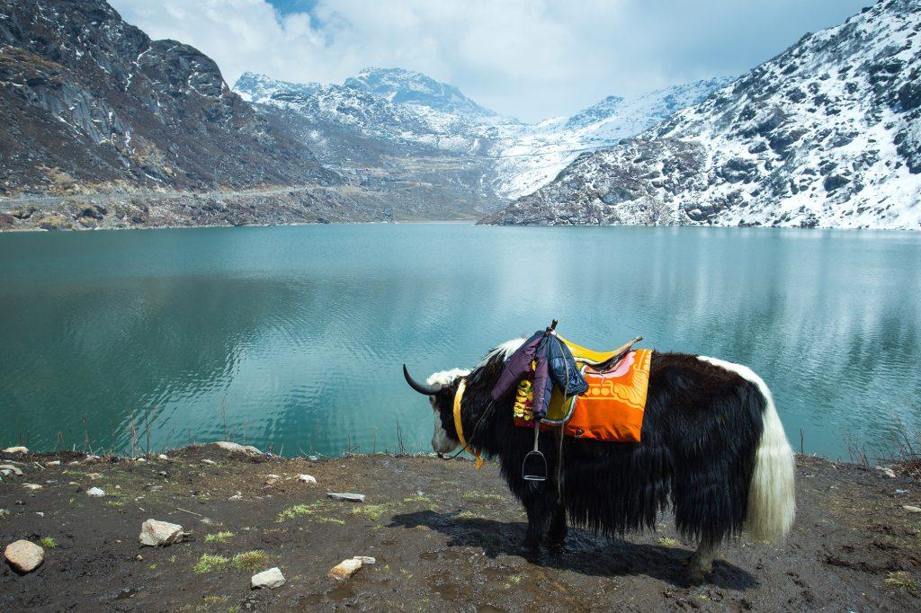 Yak Tosmo Lake Sikkim1