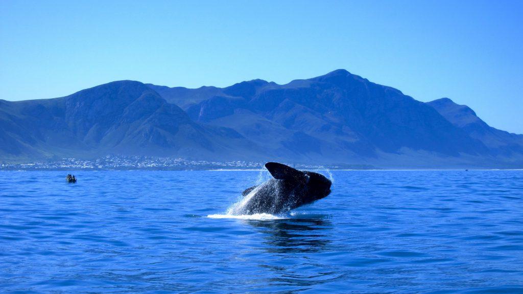 Hermanus Whale Watching Xplorio Hermanus
